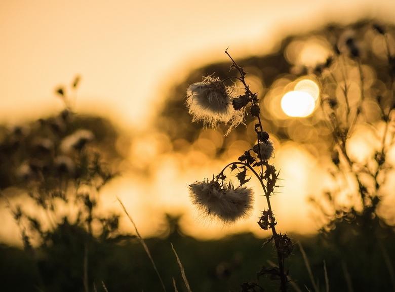 Distel bij zonondergang -