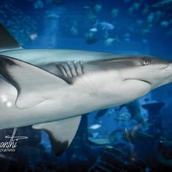 Shark from Dubai