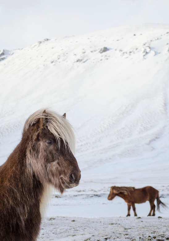 Icelandic Horse - 'He thinks he's handsome!' -