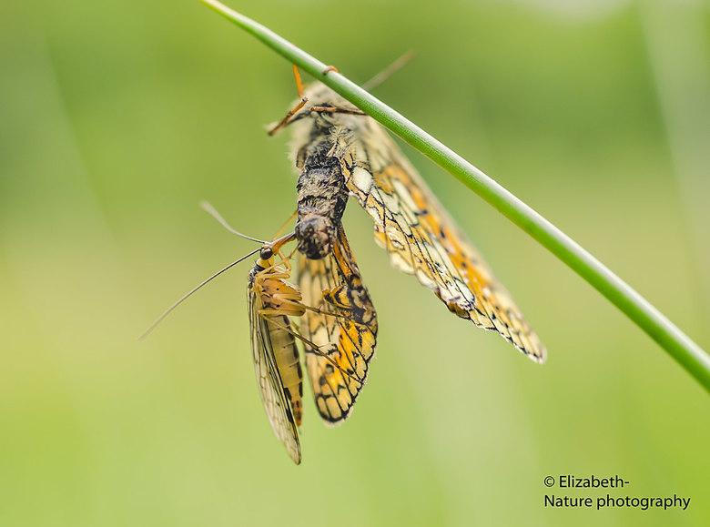 Schorpioenvlieg voedt zich met moerasparelmoervlinder - De schorpioenvlieg is een echt roofdier. Hier heeft hij/zij een moerasparelmoervlinder te pakk