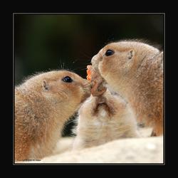 als 2 prairiehonden vechten om ...