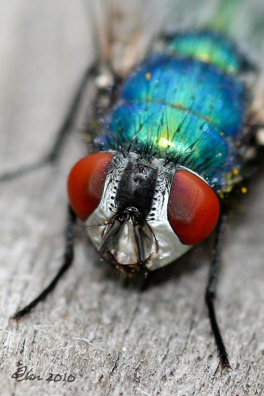 Groene Vleesvlieg - Hoewel ze zich dikwijls op dode dieren bevinden zijn het toch prachtig gekleurde vliegen.Ze leggen hun eitjes op de kadavers van a