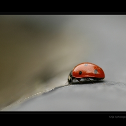 Zevenstippig lieveheersbeestje