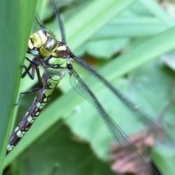 Libelle op waterplant