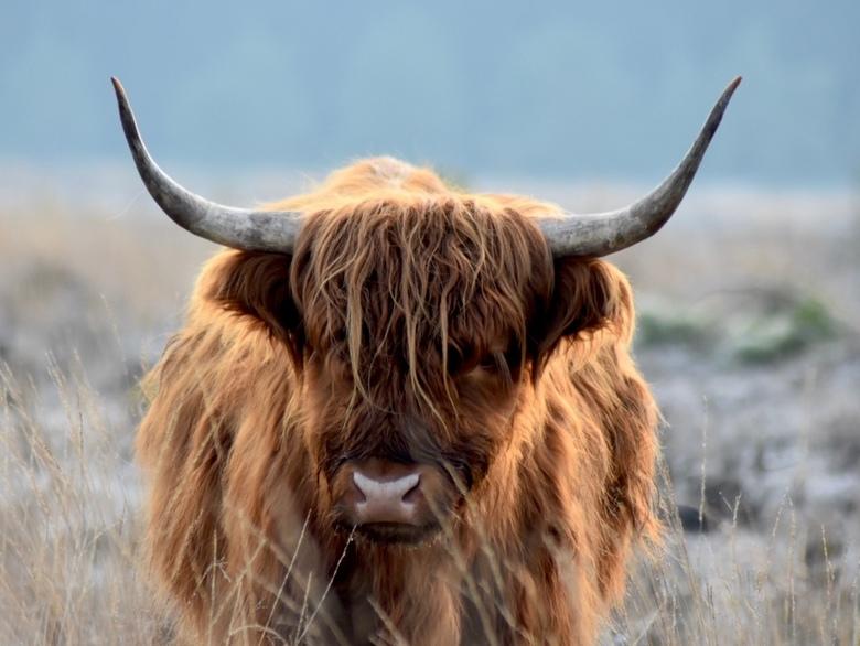Schotse Hooglander - Nog een Schotse Hooglander, dit keer op de Veluwezoom bij Schaarsbergen. Vanochtend in de kou wat voor mooie winterse plaatjes zo