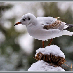 winterse meeuw