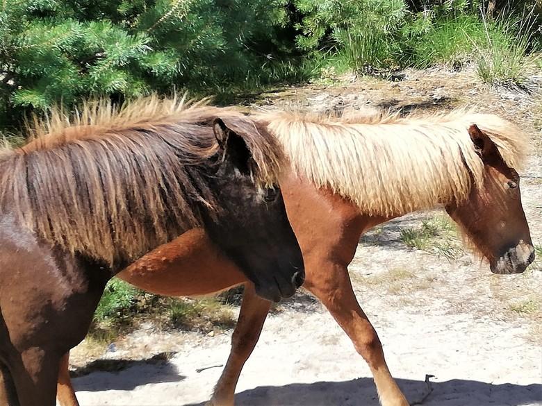 """IMG_20200804_123142 - wilde paarden in natuurgebied """"de kampina"""" in boxtel noord brabant"""