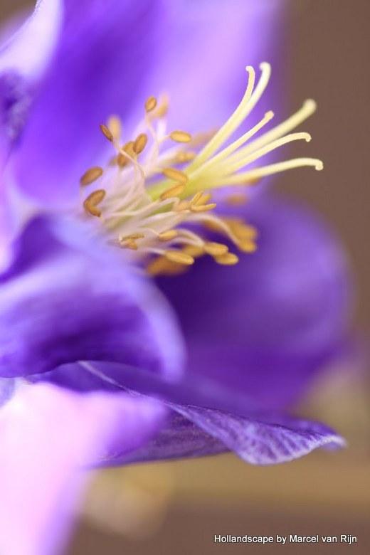 Blue Beauty - Close up van een bloem van de  Akelei<br /> iedereen bedankt voor de reacties op vorige foto&#039;s