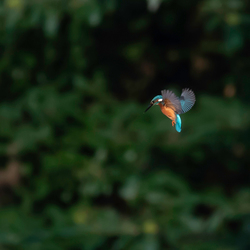 Biddende IJsvogel