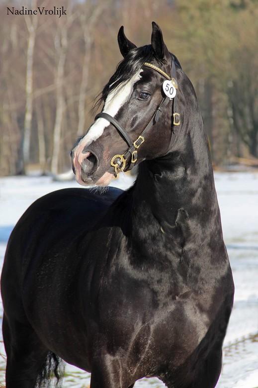 welsh cob op z'n best - 1o februari was er een hengstenkeuring van de welsh pony's in alle maten.. waaronder deze knappert die ik buiten op de fo