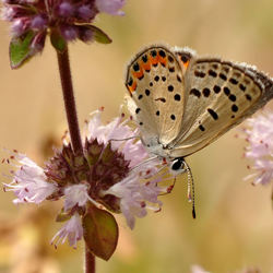 Pallid Dotted-Blue...