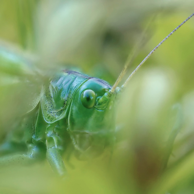 Kiekeboe... - Grote Groene Sabelsprinkhaan