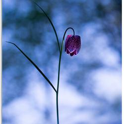 Fritillaria special