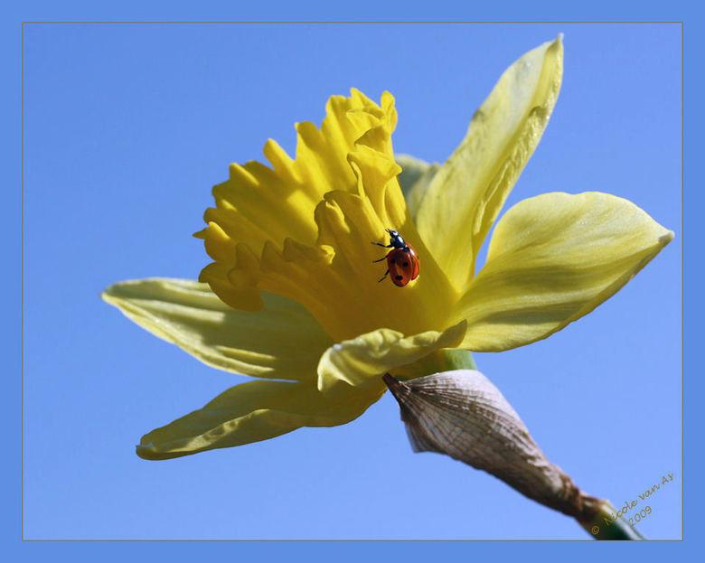 Zal ik wel of zal ik niet...... - Nog heel even dan….<br /> Maak ik een wandelingetje…..<br /> Over deze mooie gele bloem….<br /> <br /> Heel even