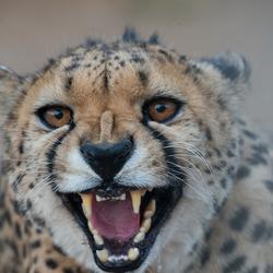 _HG93184 Cheetah!