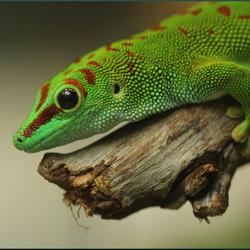 Smaragdhagedis - Lacerta Viridis