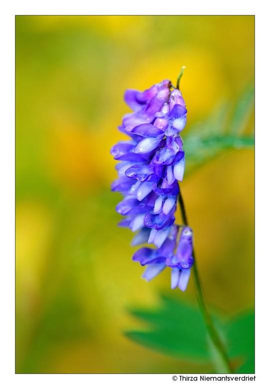 Purple Delight - Paarse kleurtjes in de bossen van Hallormstadur in het oosten van IJsland. Dit mooie bosgebied, is het grootste van het land met ruim