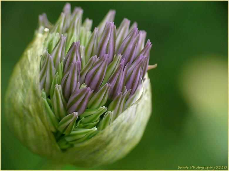 Is dit echt een wilde ui??? - ik was niet zeker wat de naam is van deze plant en heb gehoord dat het een wilde ui zou zijn... grappige naam  <img  src