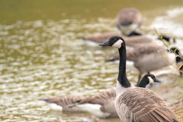 Canadese gans - Bij een park wat aangelegd is in Meerhoven zijn heel grote aantallen ganzen te zien, dus ook deze Canadese.<br /> Helaas is het resul
