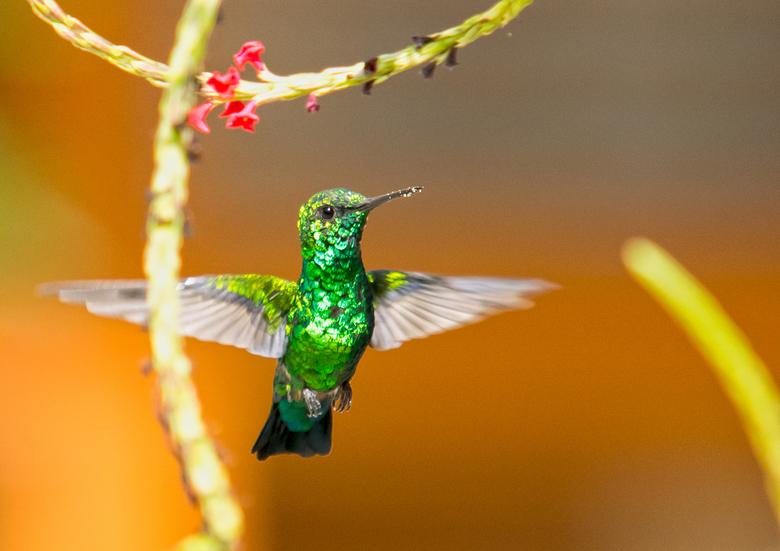 Kolibrie op Curacao -