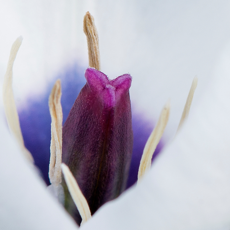 Tulpje (Alba Coerulea) - Een klein wit tulpje met een prachtig gekleurd hart.
