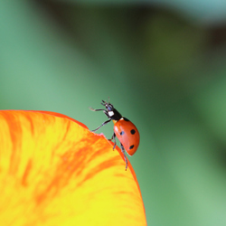Ladybird swinging on a tulip