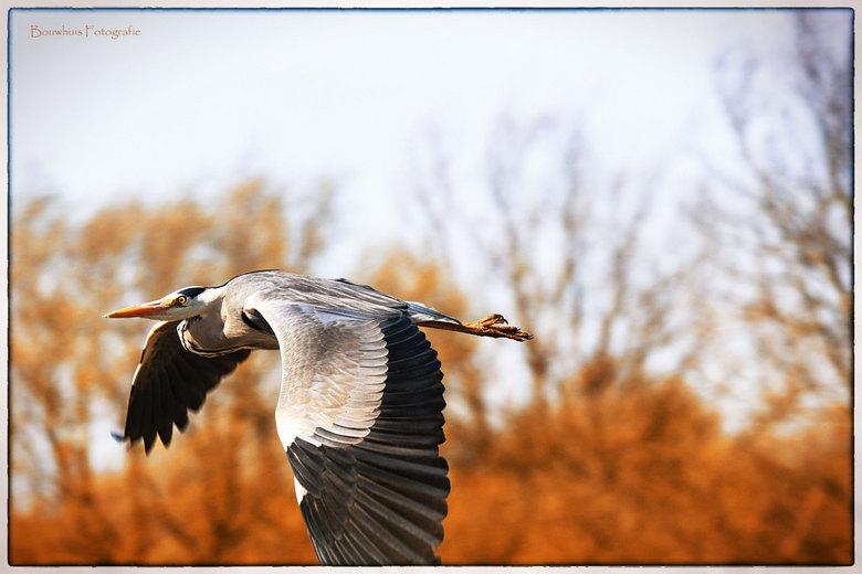 Vliegend de lente in - Met de 'meetrek-techniek' de reiger in vogelvlucht gepakt. Foto gemaakt bij de Lepelaarsplassen, Almere.