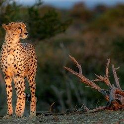 Cheetah op de uitkijk voor prooi