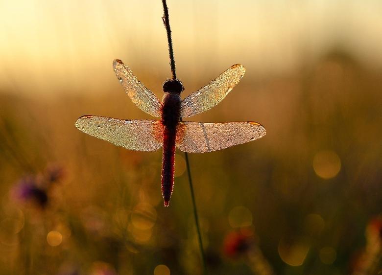 red - mooie vuurlibel in een sprankelende omgeving