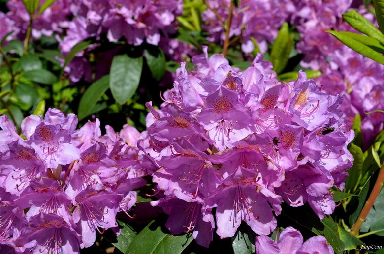 Rhododendrons - Deze foto genomen op landgoed 't vinkennest in Wezep !