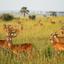 Kudde antilopes