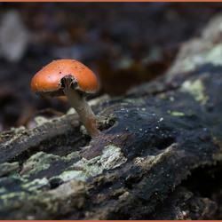 Klein oranje paddenstoeltje_DSC6171