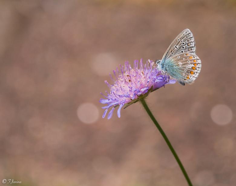 Blauwtje op de Beemdkroon - Icarus op de Beemdkroon.<br /> Ze vermaakte zich in de bloemenweelde en ik ook, lekker niemand aanwezig, behalve de tuinm