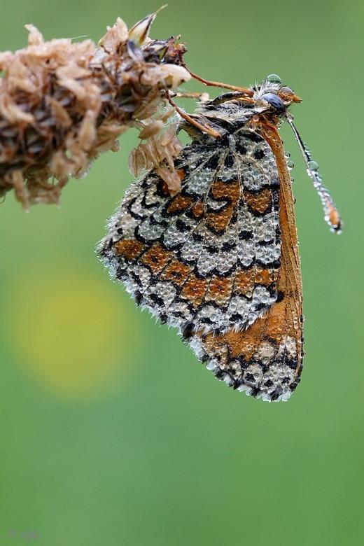 parelmoervlinder - Een foto van een van mijn favoriete vlinders.Extra close genomen om de details goed over te laten komenEen beetje zomer op deze dag