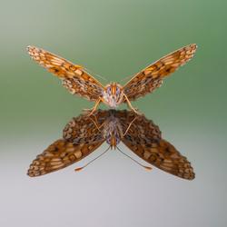 Melitaea phoebe .jpg