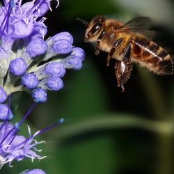 2018-09-15 11-59-54 - bijen in de tuin acdsee exp
