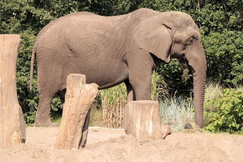 Bul  - Bul olifant
