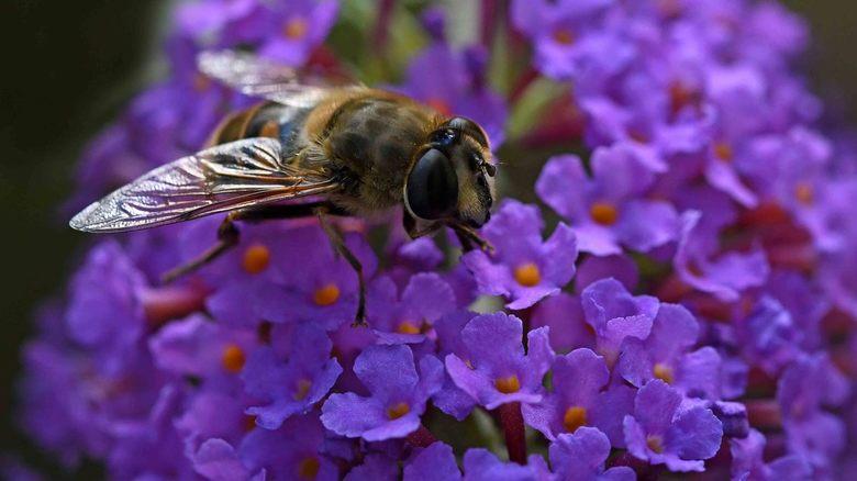 foutje - Met bijen gaat het al een aantal jaren niet erg goed. Ik kwam vorig jaar bij het fotograferen vaker blinde bijen tegen dan honingbijen. <br /