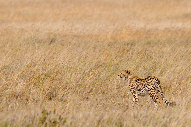 Cheeta in Serengeti -