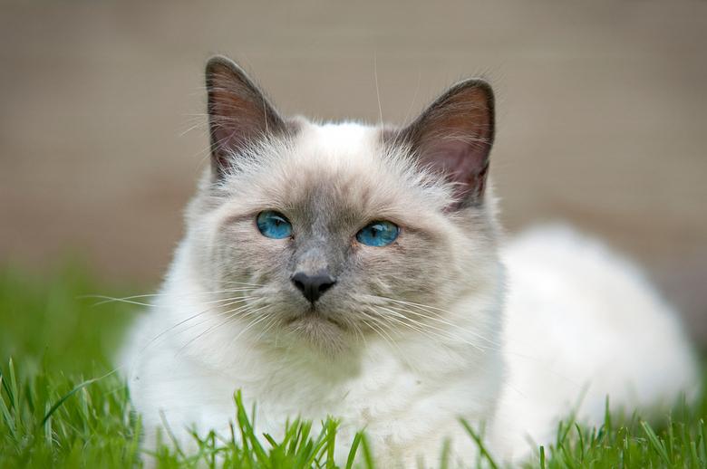 heilige birmaan - Mooie katten zijn dit.