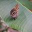 Uilvlinder legt eieren