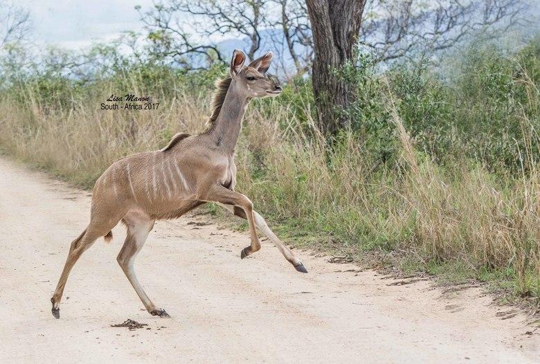 Koedoe in Zuid-Afrika - Een rennende Koedoe tijdens onze Safari in het Kruger National Park.