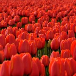 Tulpen in Noordoostpolder