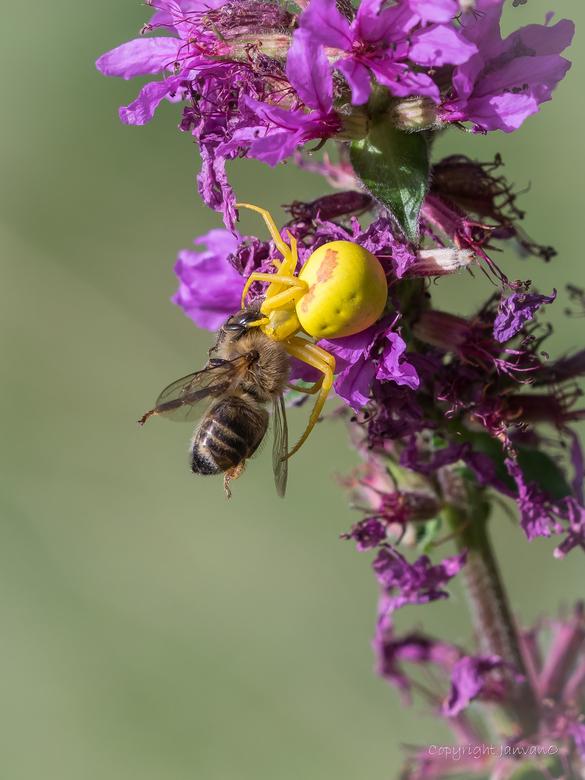 Kameleonspin met prooi   - Kameleonspinnen zijn wit.....of geel, deze viel wel heel erg op, op dat paars/rood.<br /> Ze wacht in bloemen op bezoekend