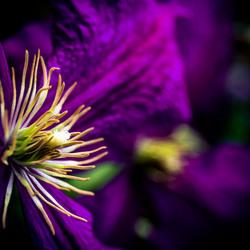 Macro Paarse Bloemen voor postcard