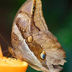 Vlinder op sinaasappel