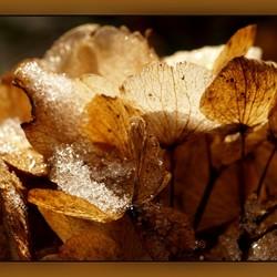 Hortensia voorzien van ijs
