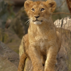 Aziatisch Leeuwenwelpje