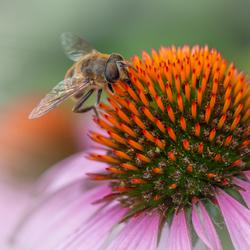 Zweefvlieg op bloem van Zonnehoed