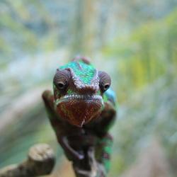 Kameleon kopje